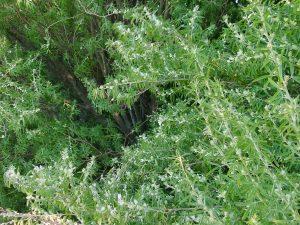 Tagasaste (Cytisus proliferus)