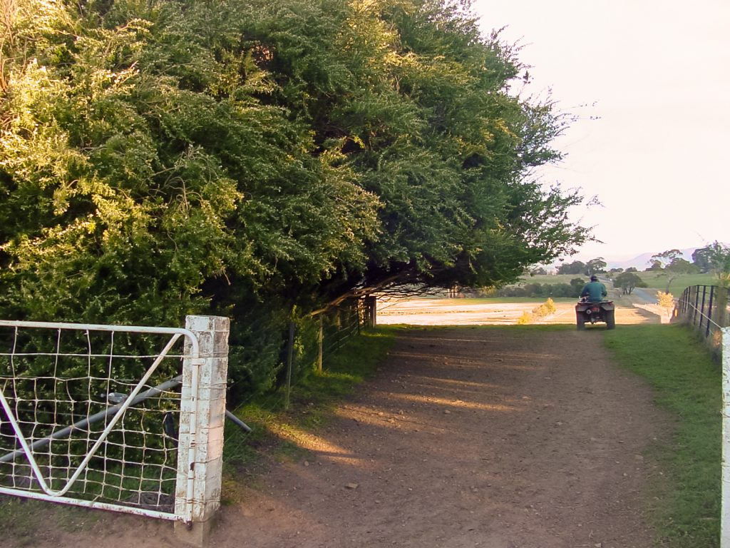 Tree Lucerne -(Cytisus proliferus)