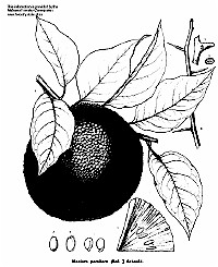 Osage Orange illustration from Alabama Forestry